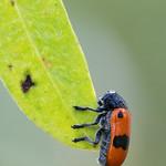 fűzfa-zsákhordóbogár - Clytra laeviuscula