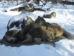 Lion and lioness lying on a warm rock