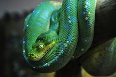 Green Tree Python  (DSC_0133)