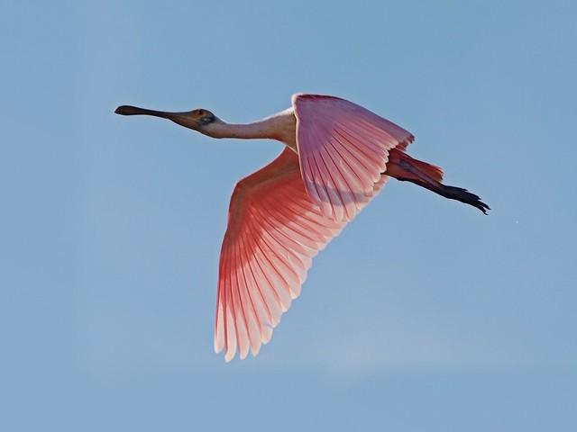 Espátula rosada - Florida - Estados Unidos