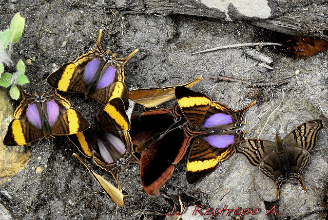 Convención de mariposas / Butterfly's meeting