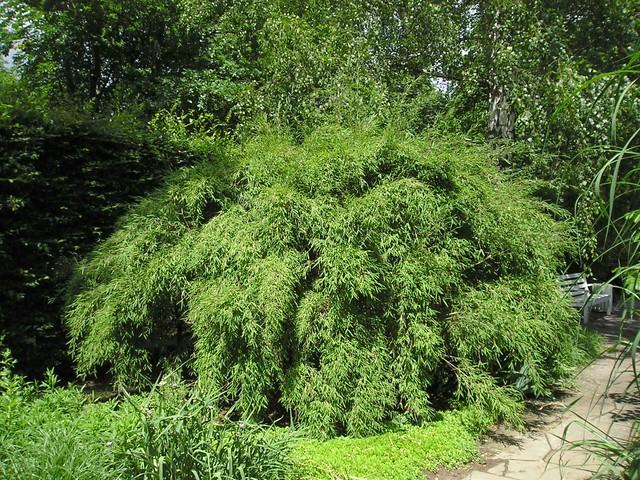 Muriel-Bambus (Fargesia murielae)