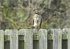 Juvenile Red-Shouldered Hawk by Woolmarket100