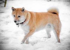 dog breed, animal, akita inu, west siberian laika, akita, dog, hokkaido, winter, shiba inu, snow, pet, norwegian buhund, shikoku, greenland dog, finnish spitz, korean jindo dog, carnivoran, icelandic sheepdog,