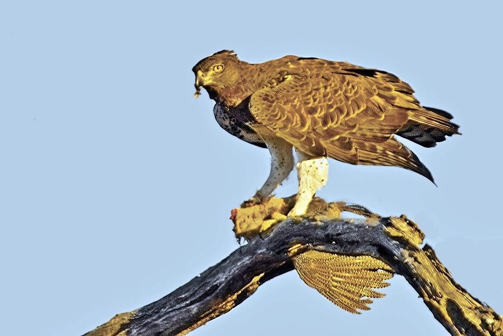 Martial Eagle Wallpaper