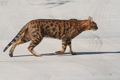 animal, bengal, toyger, small to medium-sized cats, savannah, mammal, fauna, cat, wild cat, whiskers, ocicat,