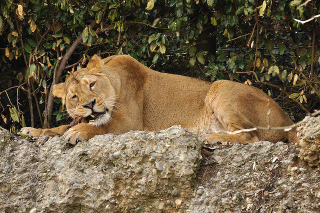 Panthera leo persica - photo#48