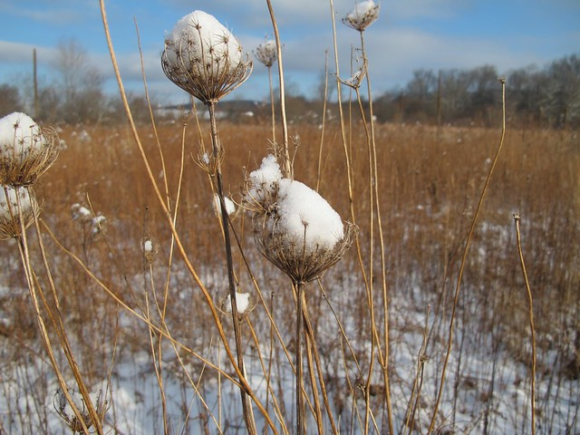 Snow on Queen Anne's Lace