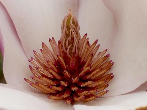 Corazón de Magnolia