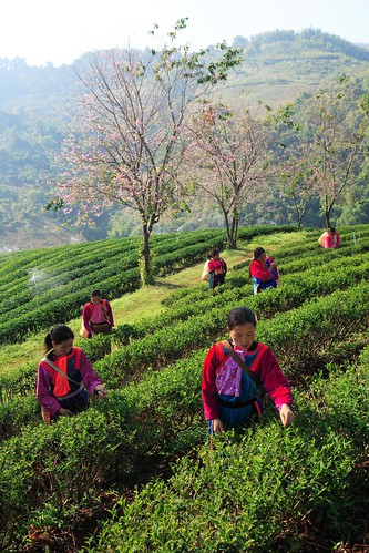 Chiang Rai Tea Plantation, which you can visit during a northern Thailand tour