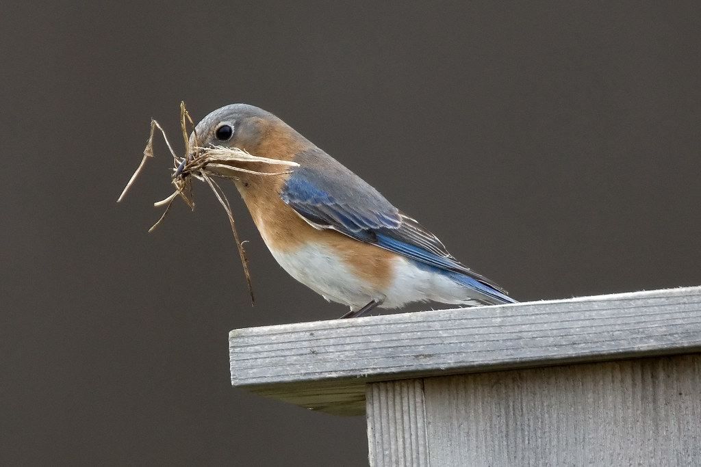 Eastern Bluebird with Nesting Material