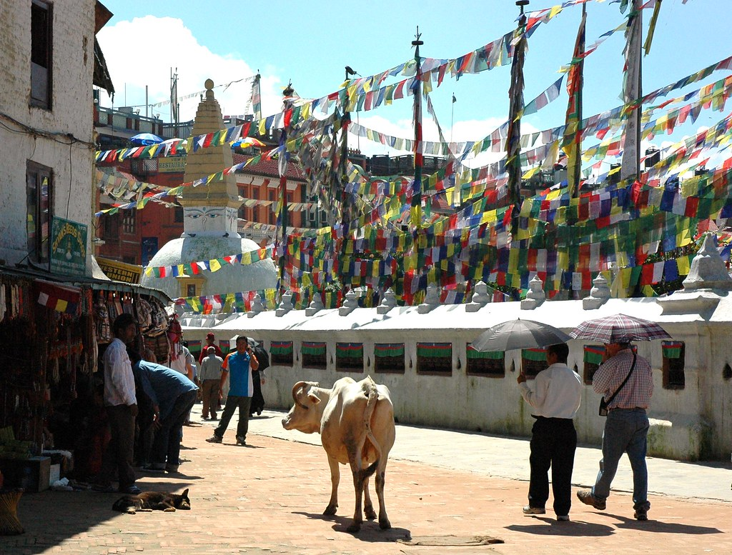 Like shopping at Home Depot, Cow, pedestrians with umbrellas, browsing around Boudha Stupa, copious Tibetan prayer flags, northeast side, Kathmandu, Nepal