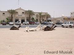 city camels