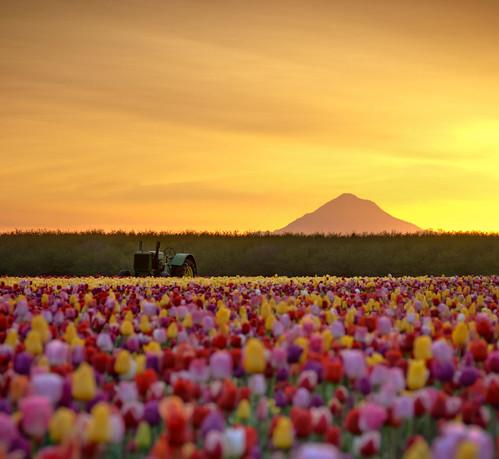 Deere in the Tulip Fields