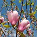 Magnoliaceae 木蘭科