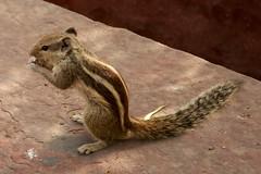 animal, squirrel, rodent, muridae, fauna, chipmunk, wildlife,
