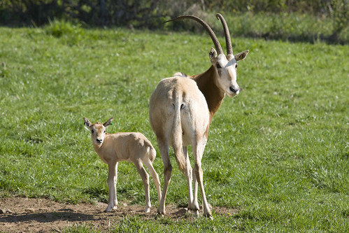 Scimitar-horned oryx calf and adult
