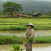 Rice farming woman in Laos