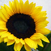 Sunflower-Happy Flower