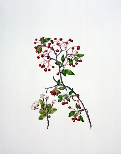 Virginia Tuttle, Malus × zumi Watercolor, 12/17/02 © Copyright Brooklyn Botanic Garden