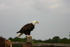 GroombridgePlace (12) - Bald Eagle