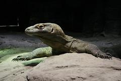 animal, zoo, reptile, lizard, komodo dragon, fauna, scaled reptile,