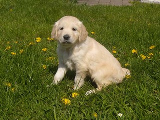 golden-retriever-meisje06