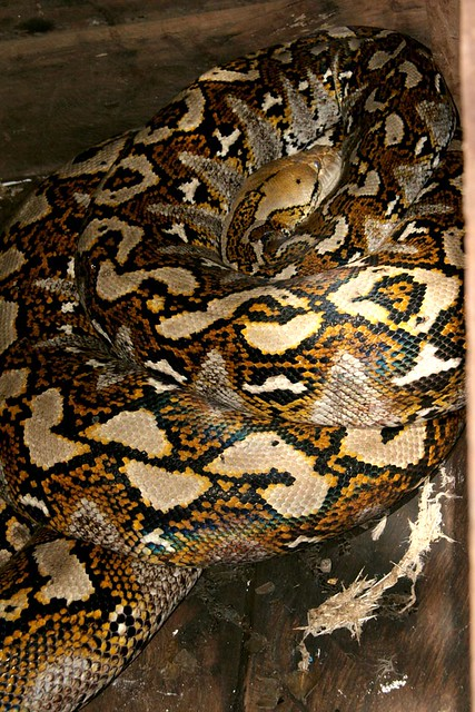 Asian reticulated python
