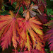 "Fruits of autumn - Acer Japonicum aconitifolium ""The Fern Leaf Full Moon Maple"""