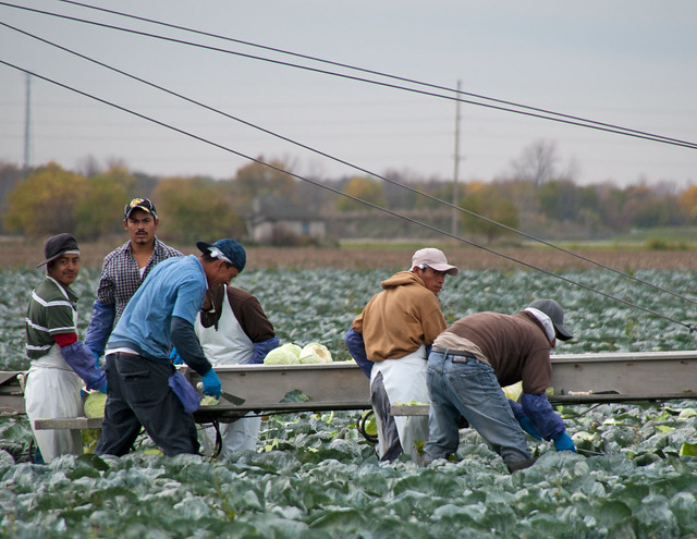 Photo of Farmworkers harvesting cabbage