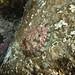 Oreja  de mar, green ormer, abalone