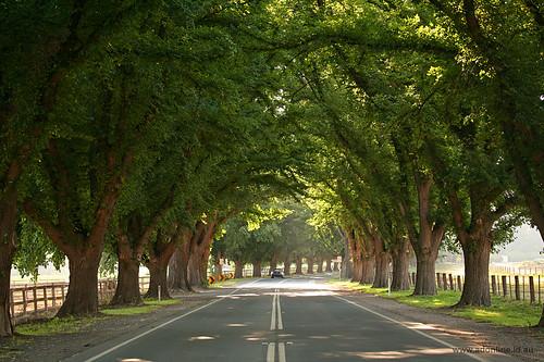trees tree rural countryside town country australia victoria bacchus marsh avenue elm honour treelined bacchusmarsh ulmaceae avenueofhonour bacchusmarshroad ulmushollandica ulmus×hollandica