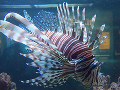deep sea fish(0.0), animal(1.0), fish(1.0), coral reef fish(1.0), marine biology(1.0), lionfish(1.0), scorpionfish(1.0), reef(1.0),