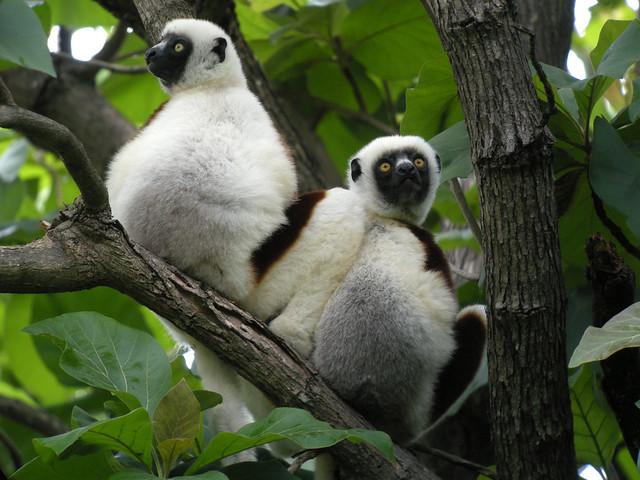 Propithecus Sifacas, Parque Nacional de Ankarafantsika, Madagascar