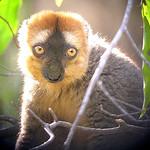 Red fronted brown Lemur. Lemur Rufous