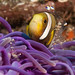 Clownfish & Cleaner Shrimp