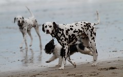 dog breed, animal, english setter, dog, pet, dalmatian, carnivoran,