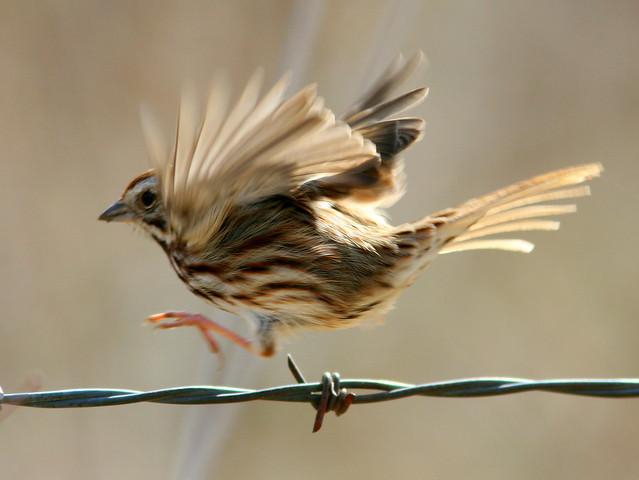 Song Sparrow 2-20100314