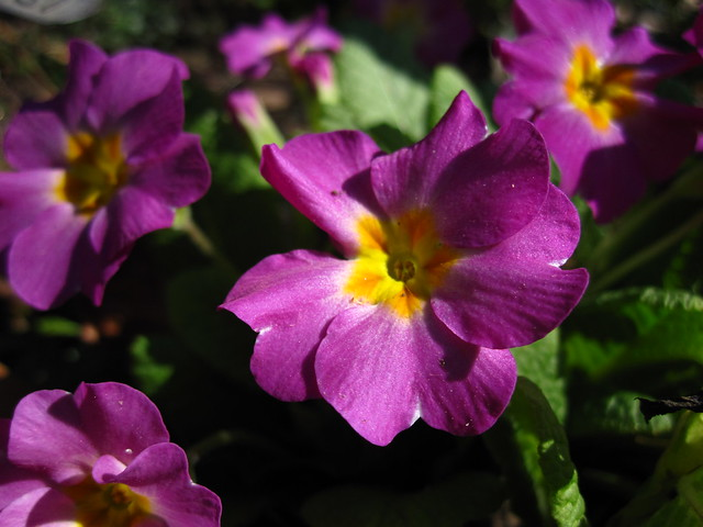 """Primula vulgaris commonly known as primrose, in the Shakespeare Garden. """"Primrose, first born child of Ver, merry spring time's harbinger."""" -The Two Noble Kinsmen, I, i, 7."""