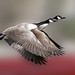 Canada Geese (Branta canadensis) in flight by pheαnix