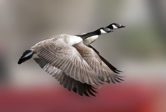 Canada Geese (Branta canadensis) in flight