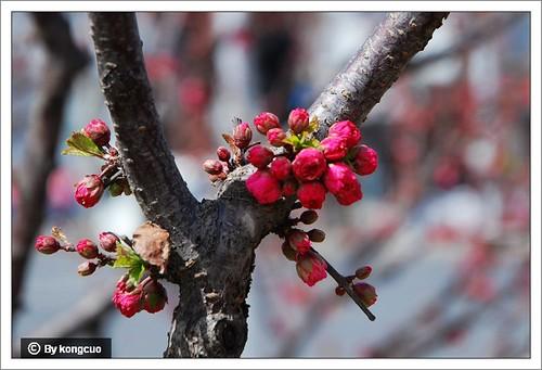 【图】蔷薇科桃属榆叶梅