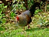Sonnerat's Junglefowl by P. Stubbs photo