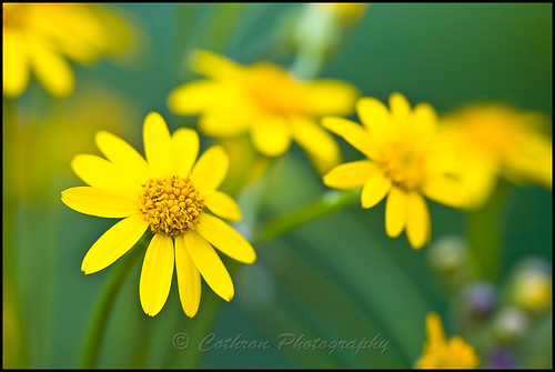 plants usa plant flower color nature yellow petals nc spring northcarolina pistil stamen bloom cherokee wildflower asteraceae aster carolinas squawweed swaincounty goldengroundsel roundleafragwort packeraobovata johncothron cothronphotography roundleafgroundsel 2jtrip2010