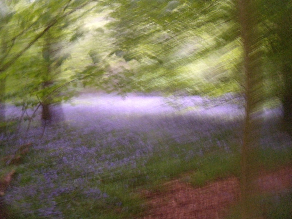 Bluebells Lambridge Woods. Henley Circular via Stonor