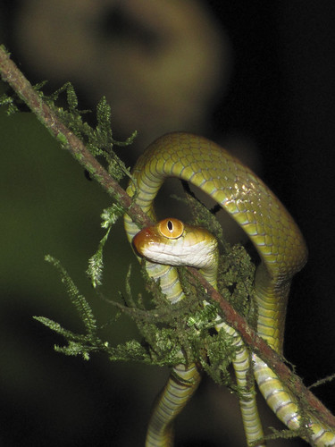 кошачья змея