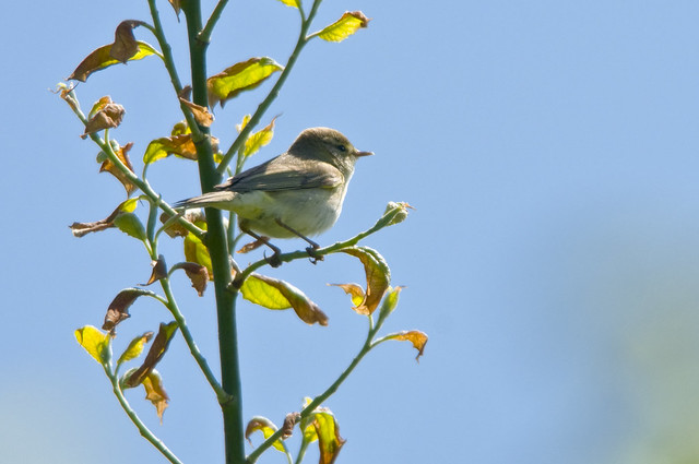 Willow Warbler (Phylloscopus trochilus) in a Tree at Bempton Cliffs