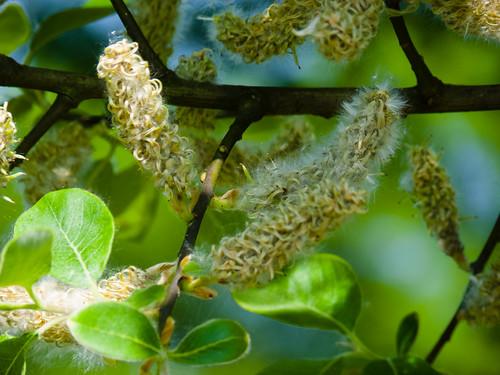 Poplar seed
