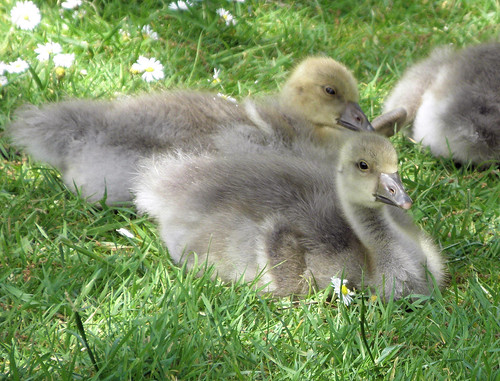 Goslings in the Daisies