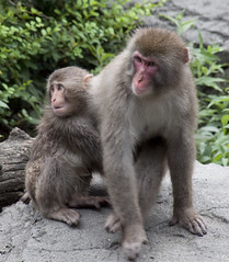 tufted capuchin(0.0), drill(0.0), animal(1.0), baboon(1.0), monkey(1.0), mammal(1.0), fauna(1.0), japanese macaque(1.0), old world monkey(1.0), new world monkey(1.0),